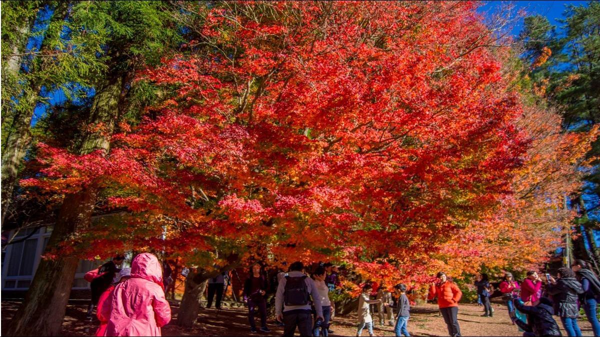 【懶人包】台灣5大楓紅在這!楓況情報整理 賞楓何必去日本?