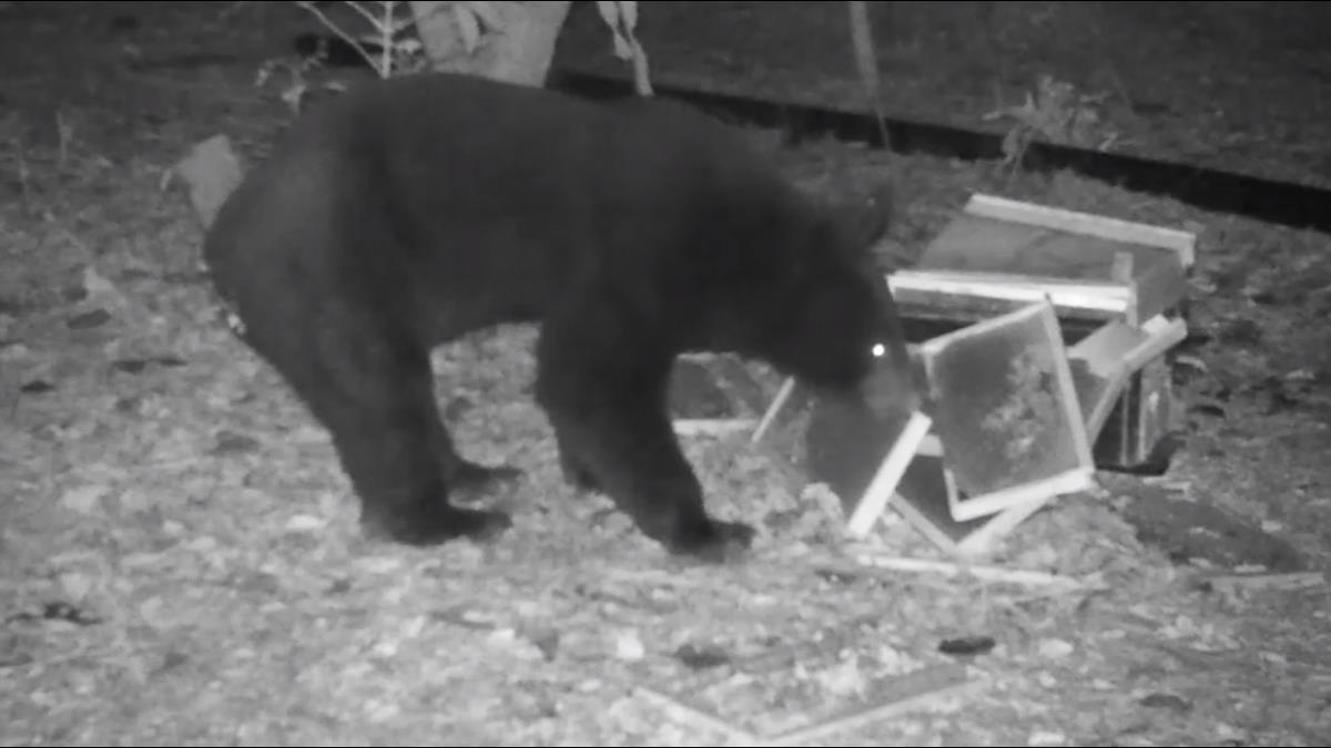 黑熊掛保證的蜂蜜!熊襲養蜂場釀「農損」 愛心蜂農大方請熊吃蜜