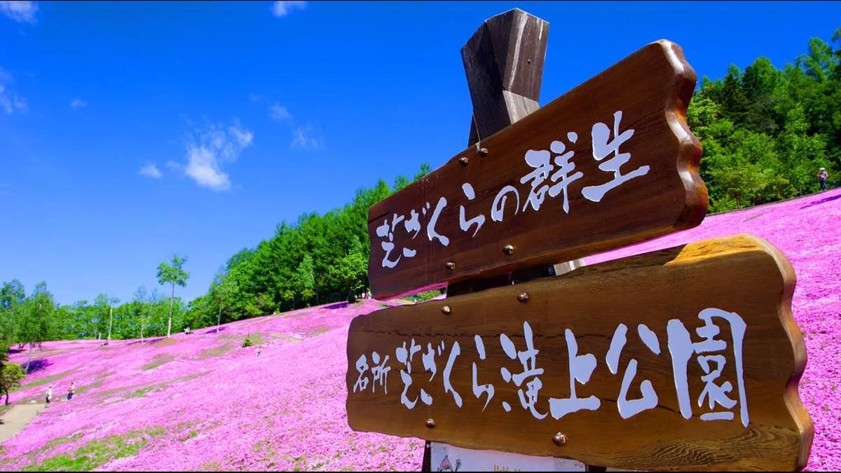 夏季朝聖北海道「芝櫻花毯」!4大粉紫花海公園 超療癒