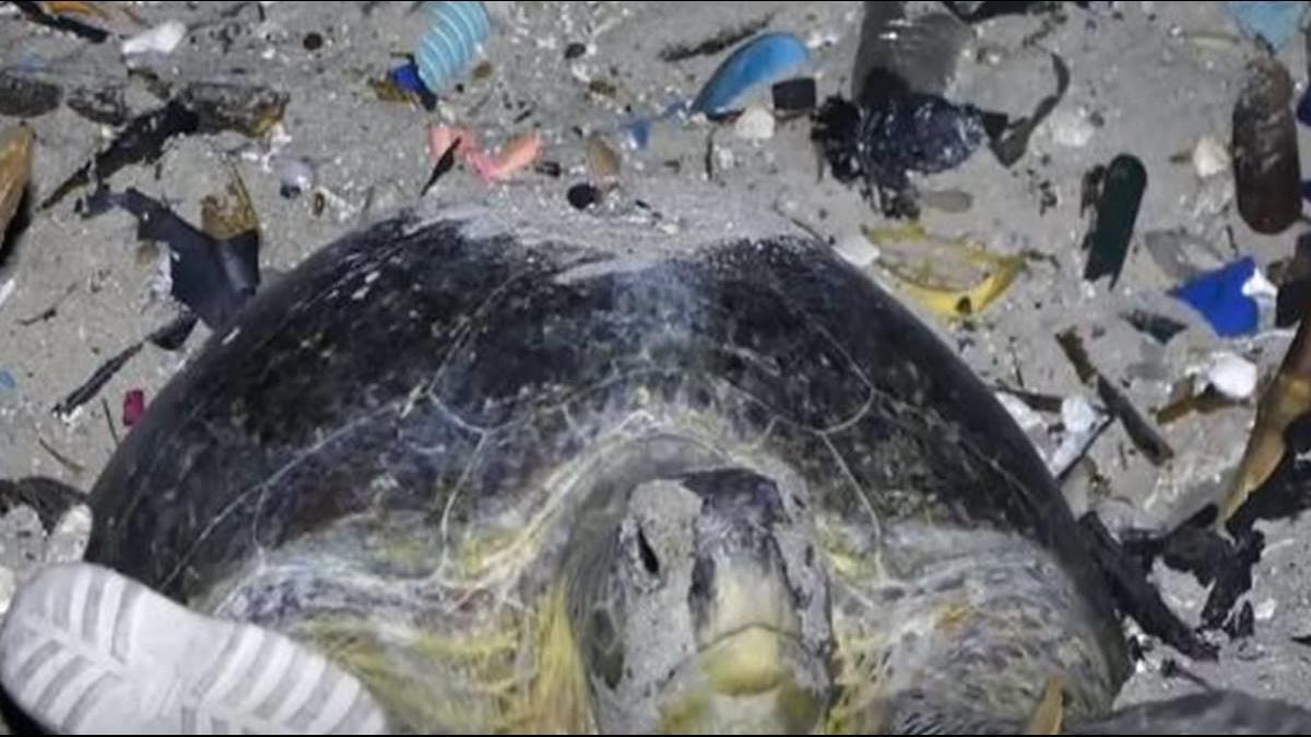 淨灘清出38公噸垃圾 6隻死去的海龜 肚子滿是漁網