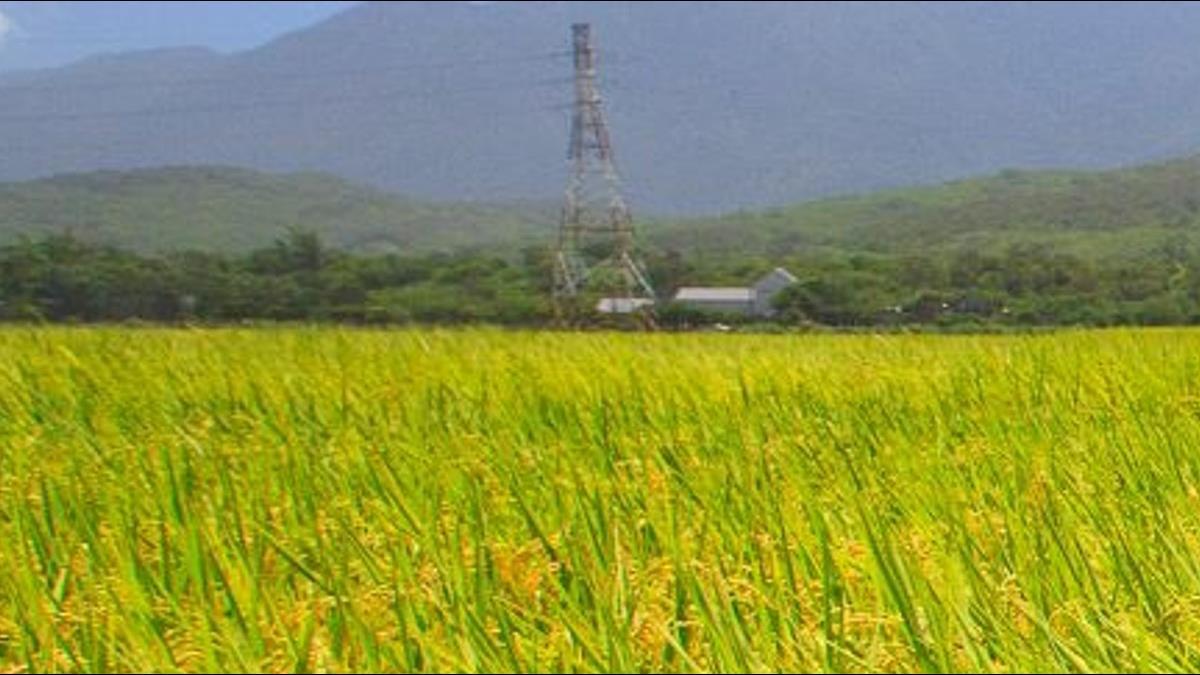 台南農民「搶割一期稻」價慘跌!米商心痛:收了也賣不出去