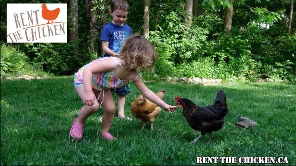 想吃新鮮雞蛋? 半年花18K「租」隻雞回家請他生