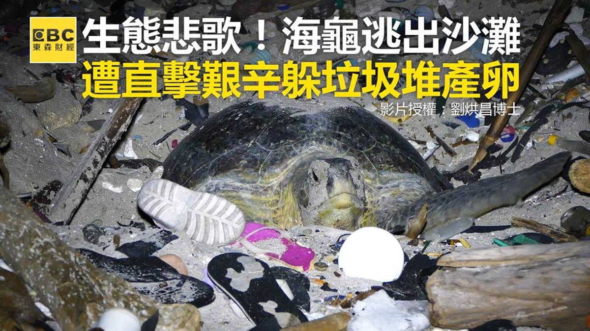生態悲歌!海龜逃出沙灘 遭直擊艱辛躲垃圾堆產卵