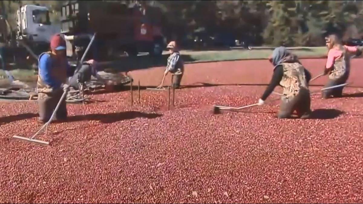 北美紅寶石之稱「蔓越莓」 直擊摘採加工