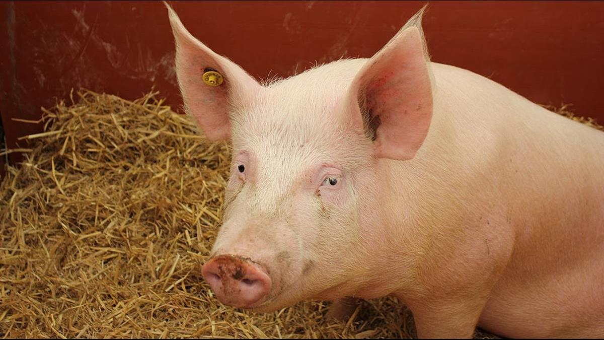 豬淪貿易戰犧牲品!陸少買大豆 降縮飼料蛋白量