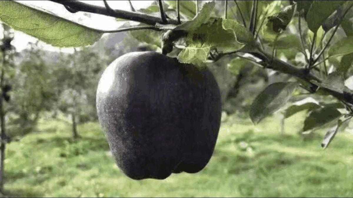 神奇「黑蘋果」2顆要價上千元!果農不想種原因曝光