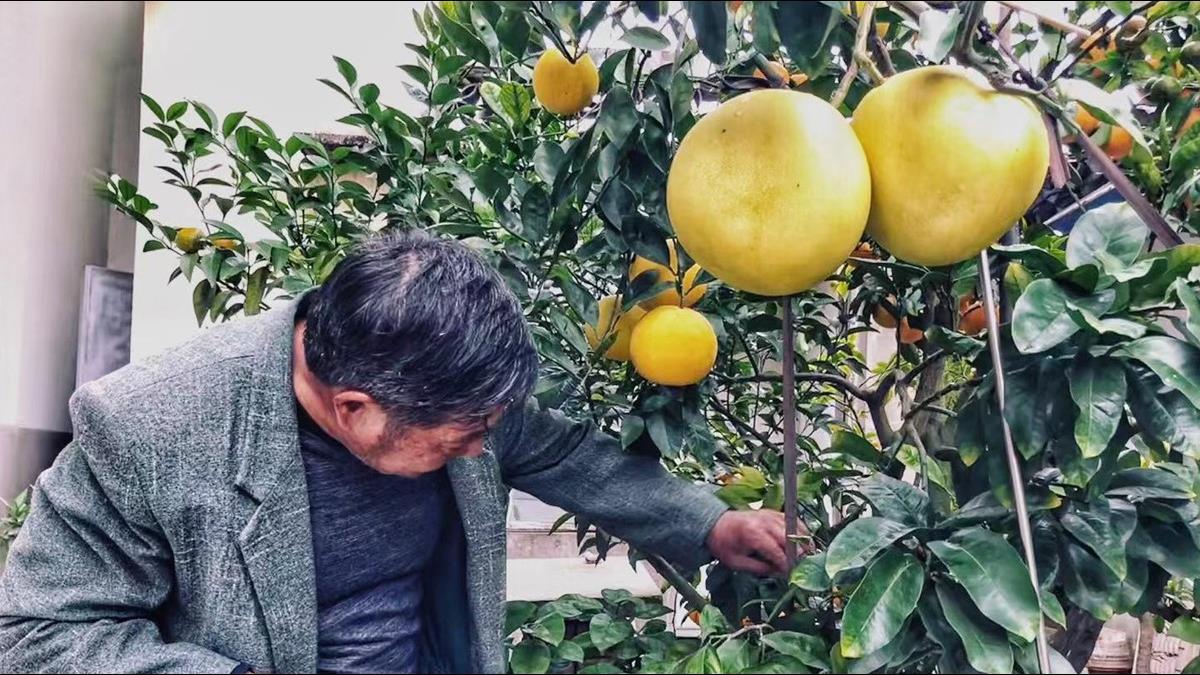 1棵樹種11種水果!7旬翁癡迷嫁接果樹60年