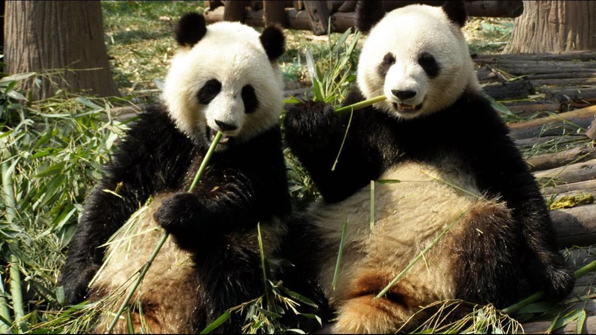 養1隻要近5千萬!中馬建交40年擬將熊貓「歸還」