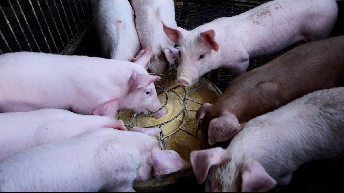 386億紅利防堵非洲豬瘟!農委會:已申請5億