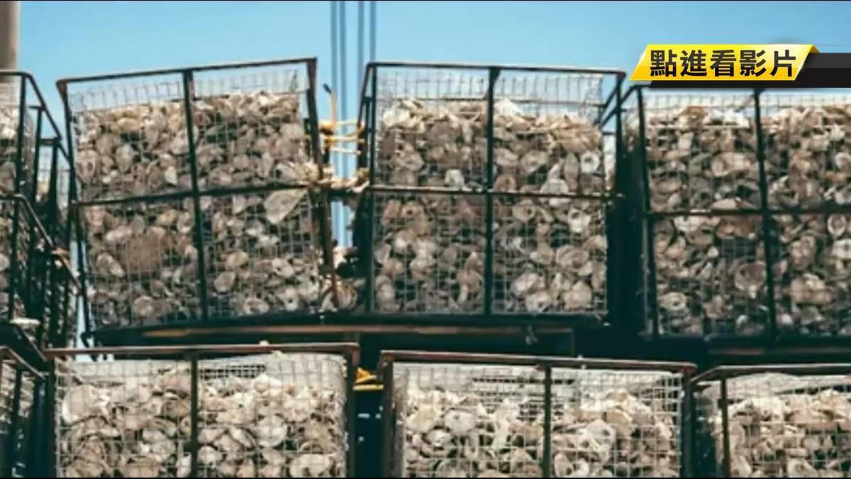 秘密武器!用10億隻牡蠣清理紐約港