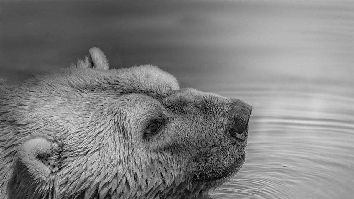 震撼!全球暖化北極熊私闖民宅 俄國進入緊急狀況