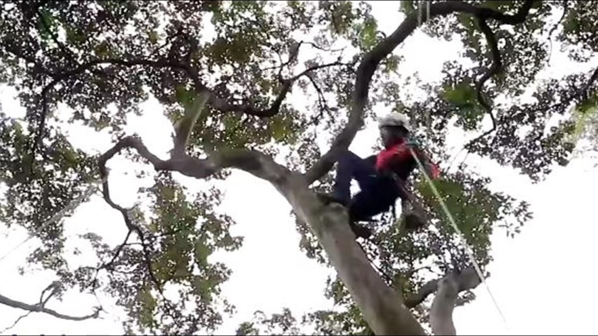 月薪10萬「攀樹師」全台僅10人!頂高風險為樹服務
