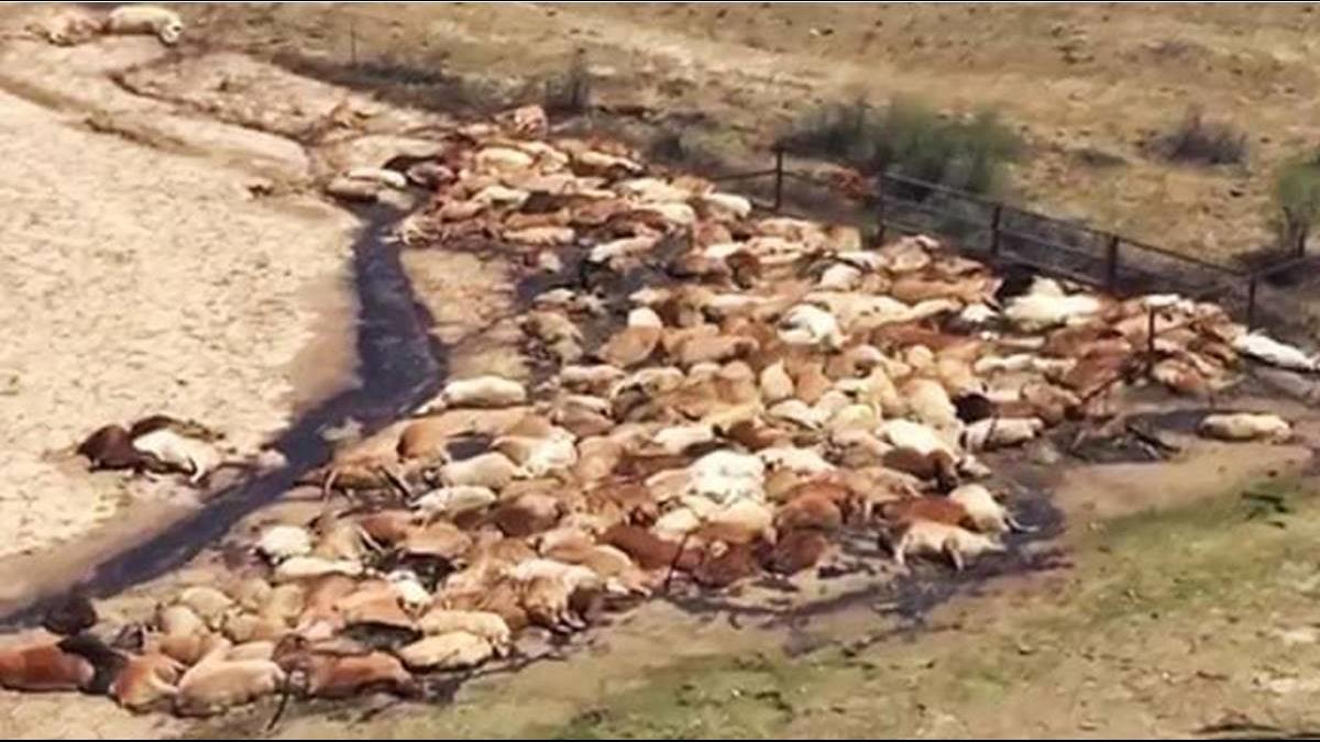 5年乾旱逢暴雨!澳洲30萬頭牛慘遭滅頂「畜牧陷危機」