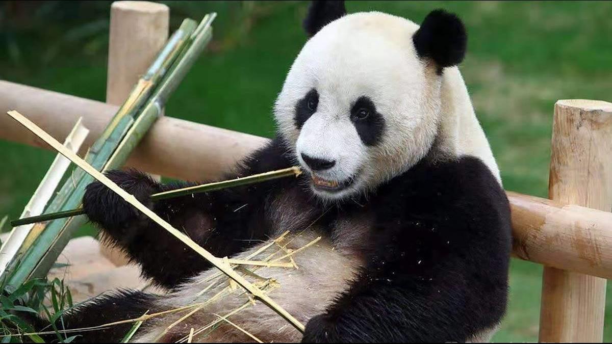 養貓熊首年需砸3200萬?學者批:壽山動物園養不起