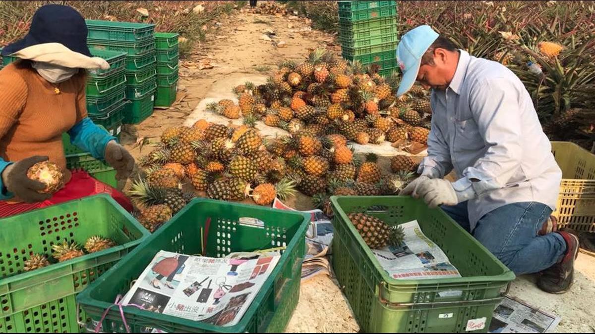 鴻海再買高雄農產!672箱大樹鳳梨首發深圳富士康