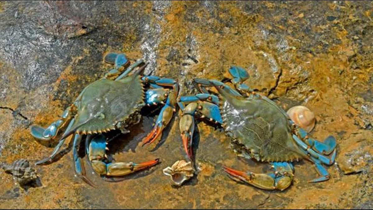 沒有天敵? 美國藍蟹入侵西班牙大量繁殖造福海鮮控