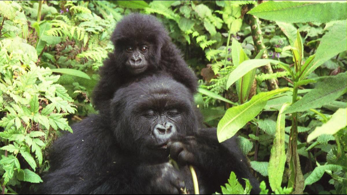 門票4.6萬入場等半年!世界最貴公園擁數百隻大猩猩