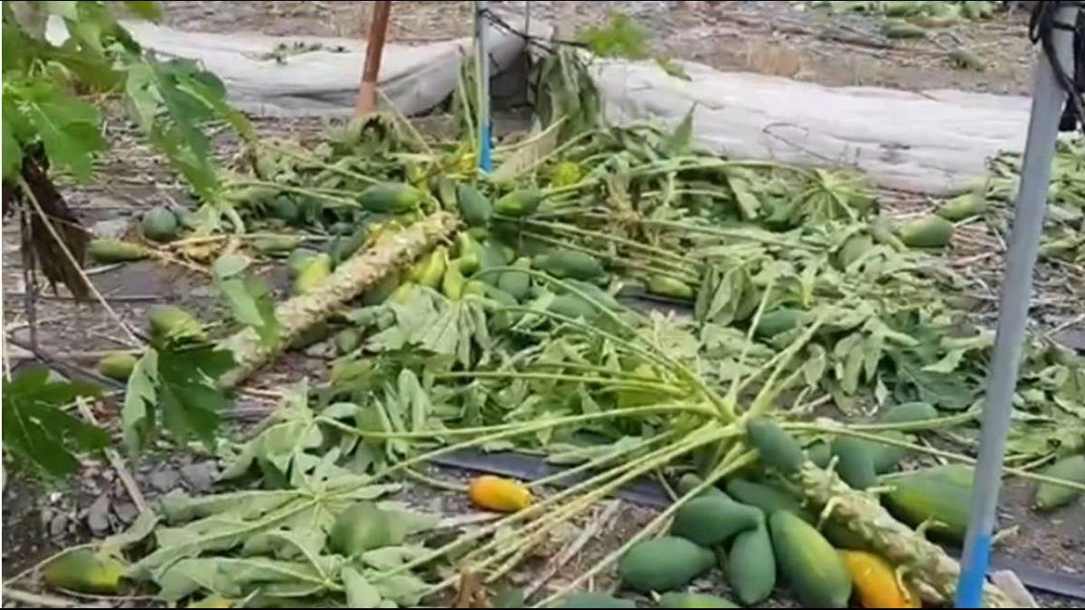 豪雨農損高雄木瓜最慘!農委會出手補助每公頃7.5萬