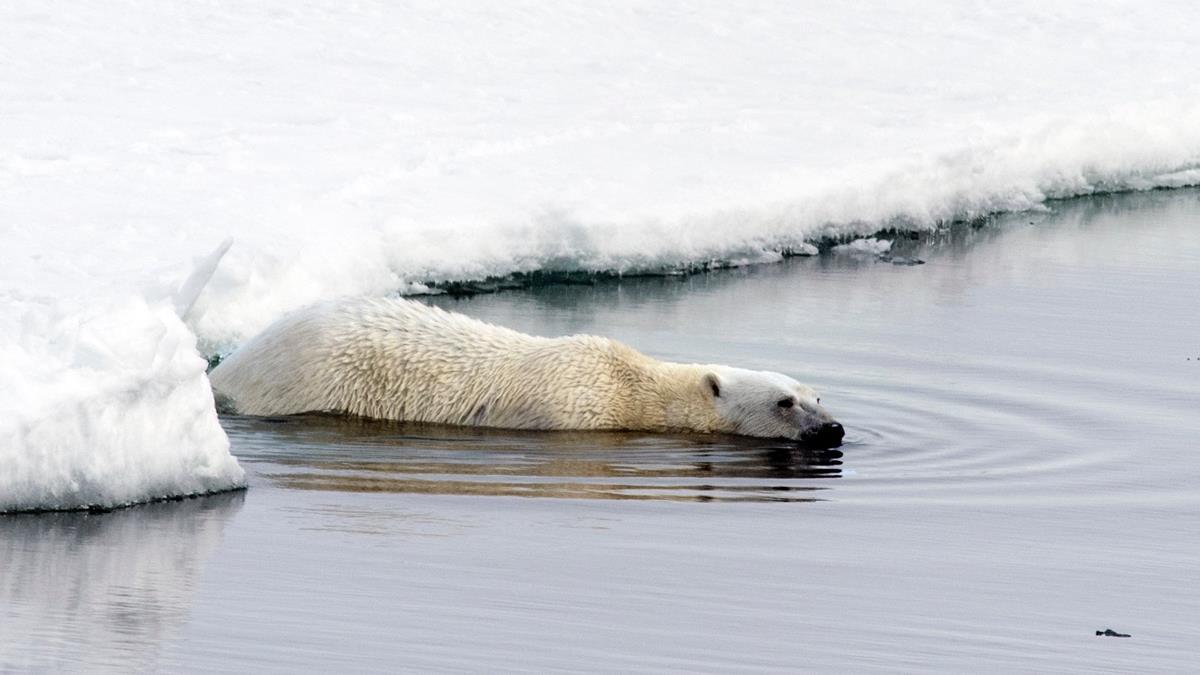 北極融冰速度快到超乎預期!北極熊生存遭受嚴重威脅