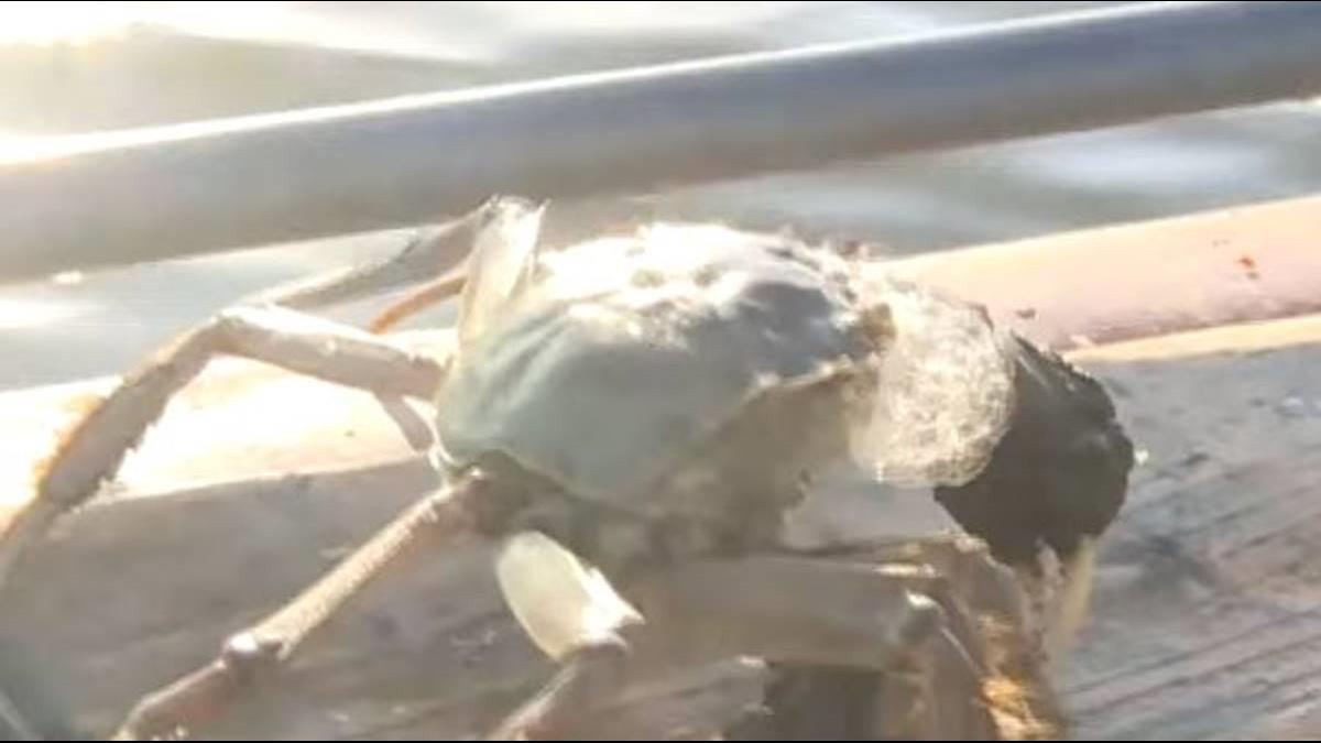入秋吃蟹好時節 陽澄湖大閘蟹價飆新高!