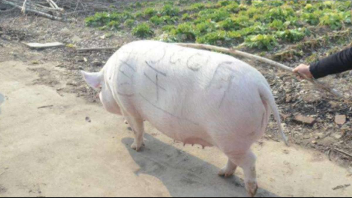 大陸豬價暴漲農家流行養「巨豬」!財經女神曝真相駁斥
