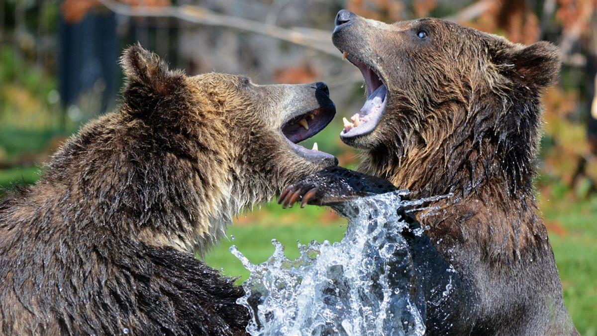 冬天太熱睡不著!專家警告:棕熊無法冬眠恐成「暴力熊」