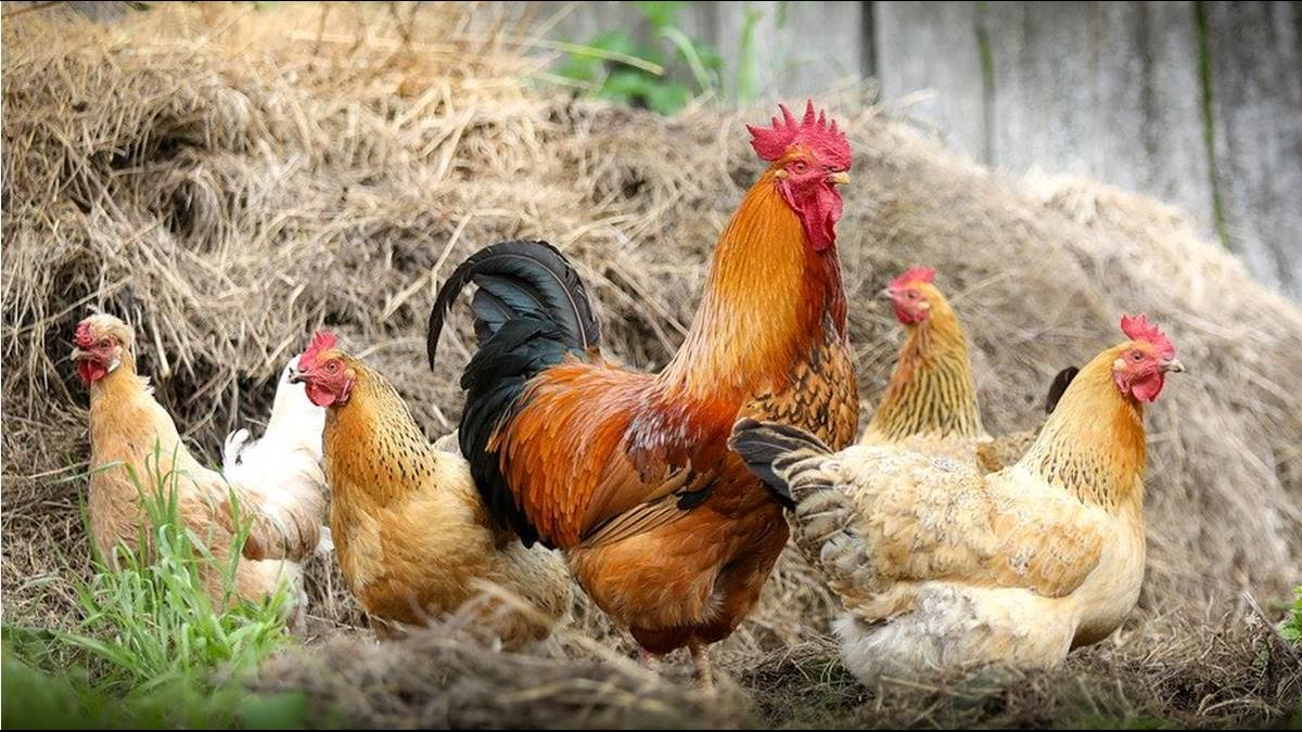 預防禽流感爆發!農委會籲減少禽場進出取雞次數