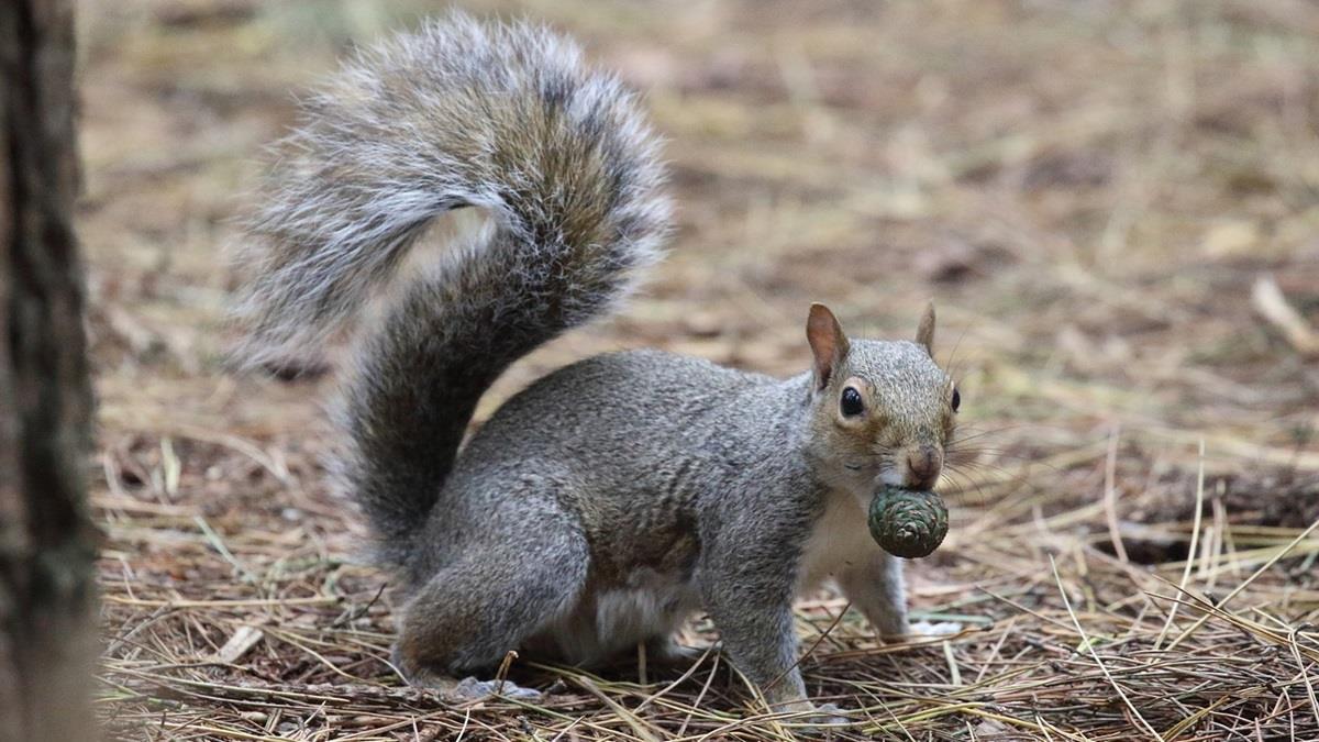 英國有人提議吃掉灰松鼠以控制數量!網友驚:還敢吃野味?