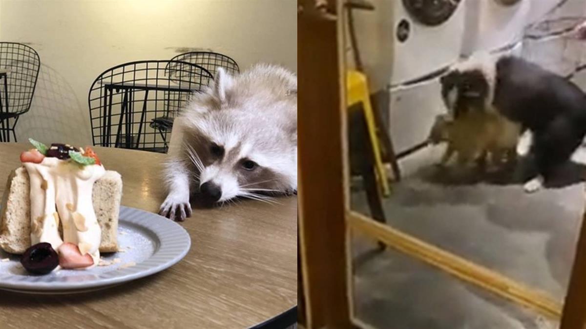 放狗咬浣熊影片曝光 咖啡店負責人認錯 動保處到場稽查