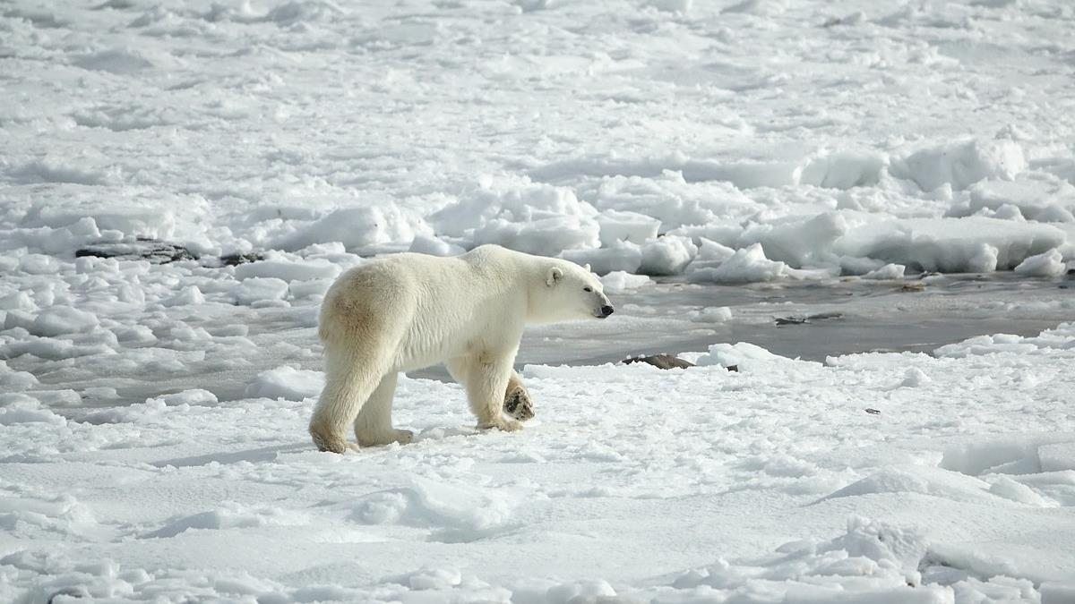 被迫同類相食!加拿大科學家:80年內北極熊恐滅絕