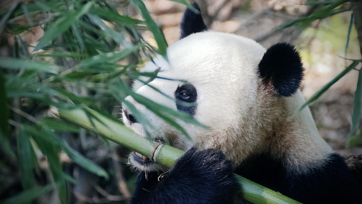 熊貓恐斷糧餓死?加拿大動物園苦惱:新鮮竹子快沒了!